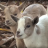 Goats Are Like an Insurance Policy